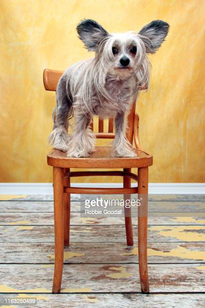 studio shot of a chinese crested dog standing on a chair looking at the camera on a yellow backdrop - highgate stock pictures, royalty-free photos & images