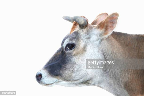 Studio shot of a Cow smiling on white background