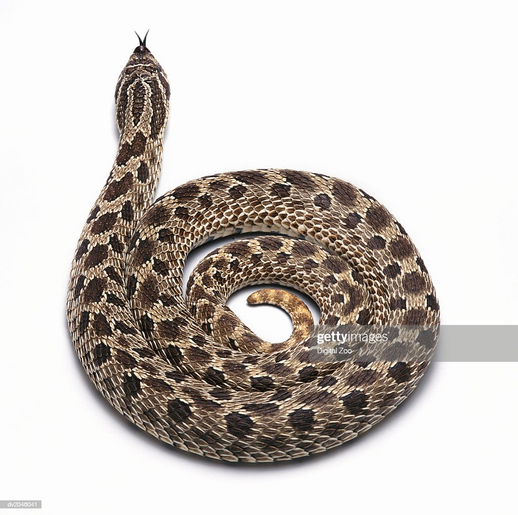 Studio Shot of a Curled Up Snake : Stock Photo