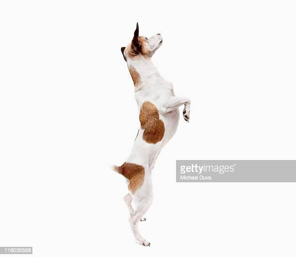 studio shot of a Jack Russel Terrier on white