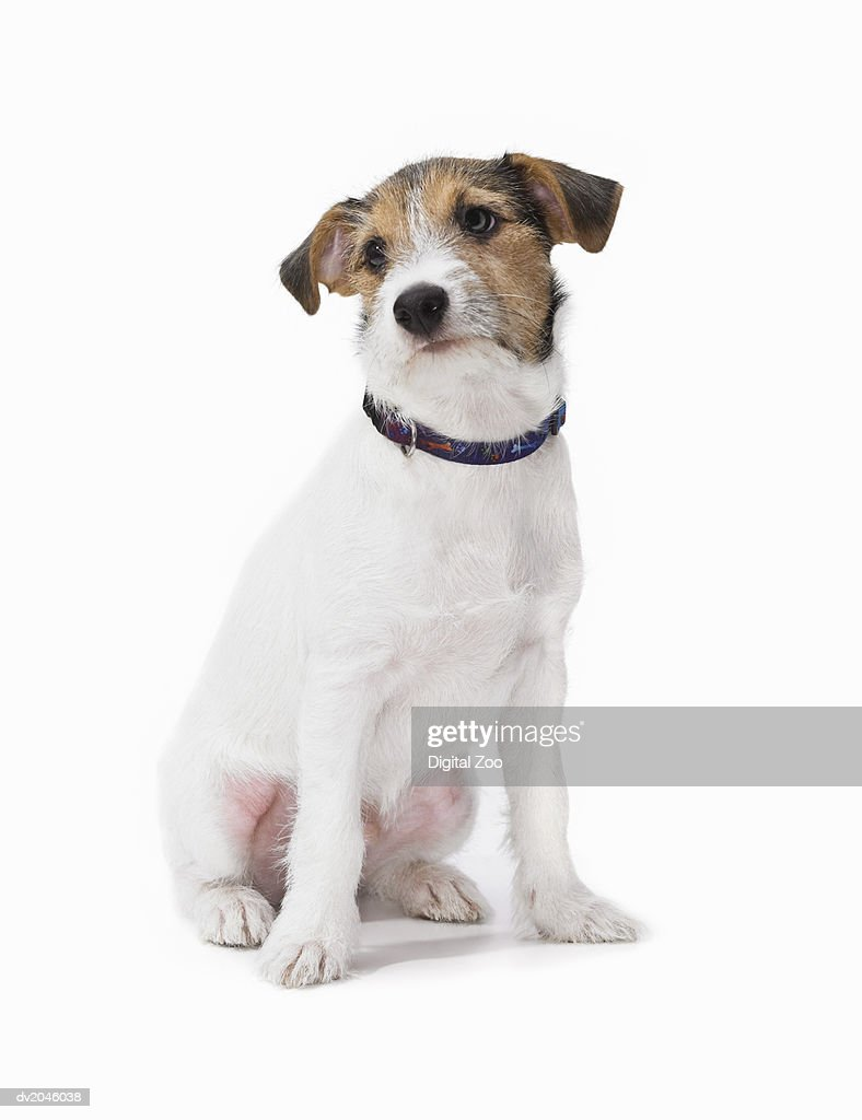 Studio Shot of a Jack Russell : Stock Photo