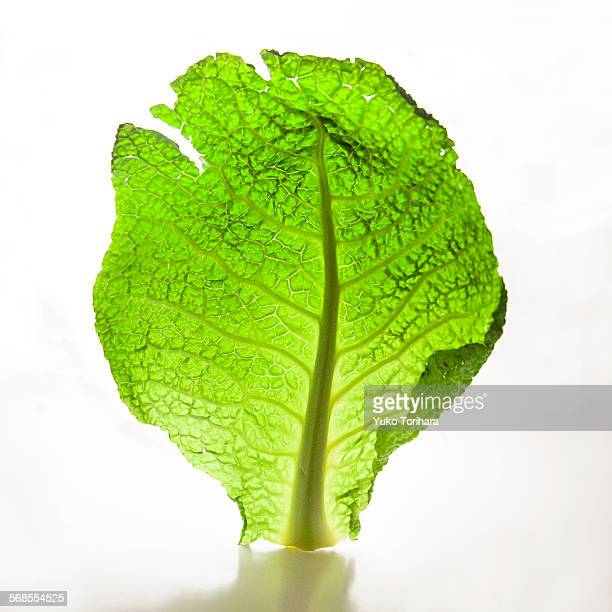 Studio shot of a lettuce
