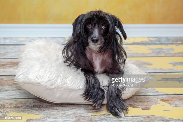 studio shot of a male black chinese crested dog sitting on a white fluffy cushion looking at the camera on a coloured backdrop - highgate ストックフォトと画像