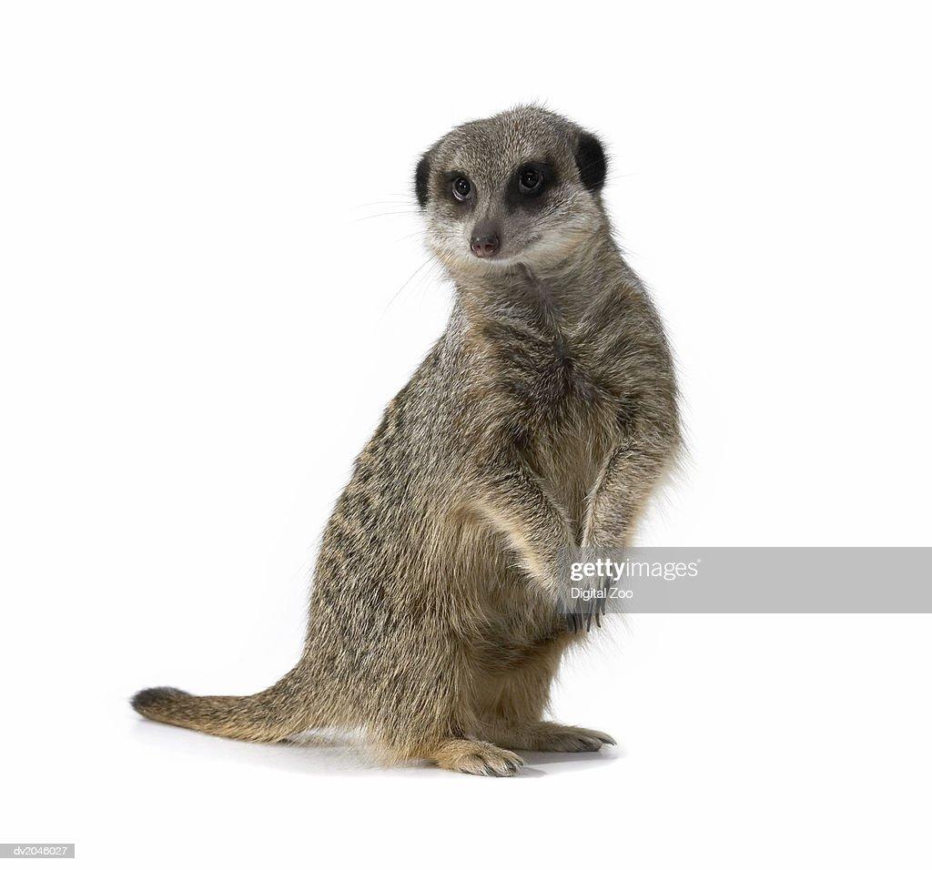 Studio Shot of a Meerkat : Stock Photo