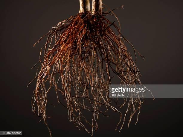 studio shot of a plant root close-up - 根 ストックフォトと画像