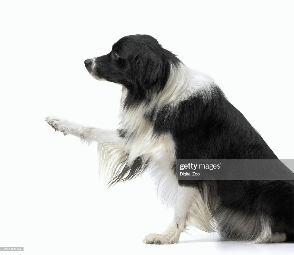 Studio Shot of a Sheepdog, Reaching Out With its Paw : Stock Photo