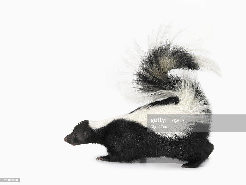 Studio Shot of a Skunk : Stock Photo