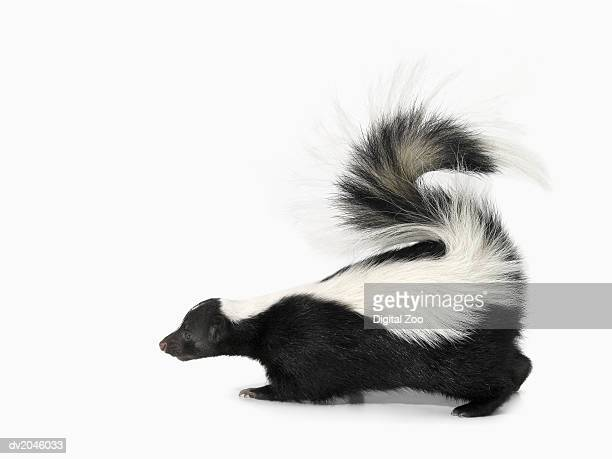 studio shot of a skunk - skunk stock pictures, royalty-free photos & images