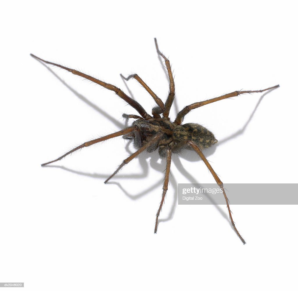 Studio Shot of a Spider on a White Background : Foto de stock