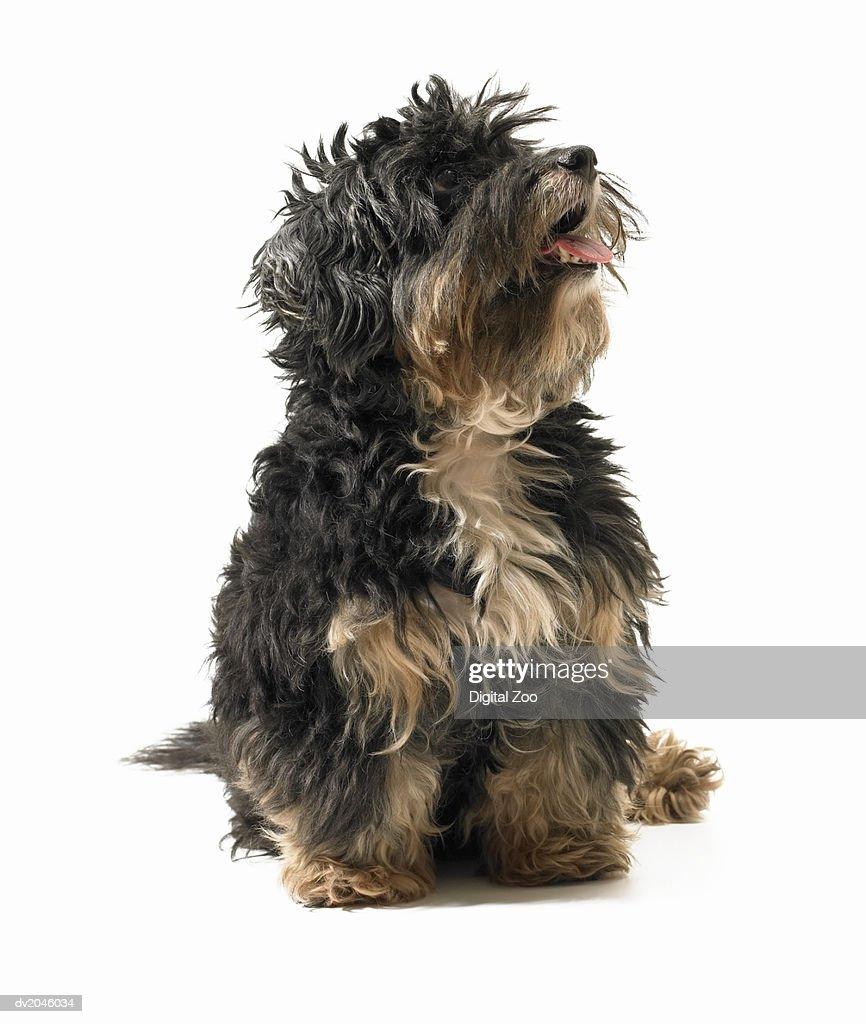 Studio Shot of a Terrier : Stock Photo