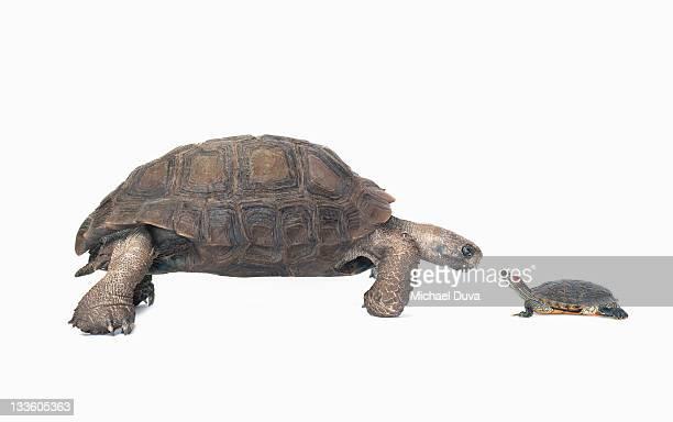 studio shot of a tortoise and turtle