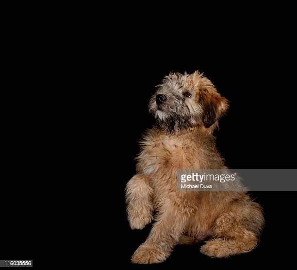 studio shot of a wheaten terrier black background - soft coated wheaten terrier stock photos and pictures