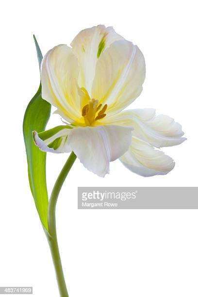Studio shot of a White Tulip on a white background