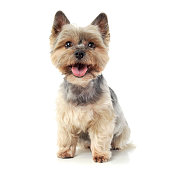 Studio shot of an adorable Yorkshire Terrier looking curiously  at the camera