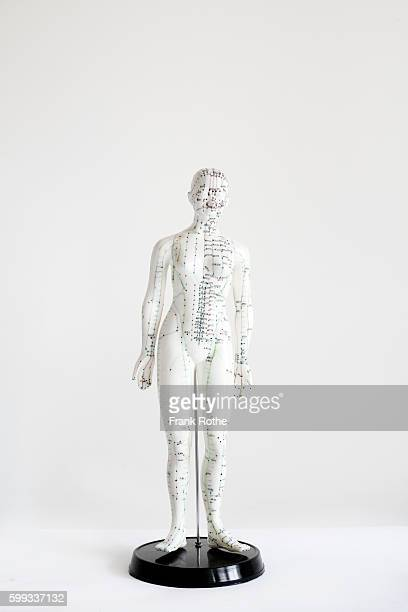 Studio shot of anatomical model with acupuncture chart on it