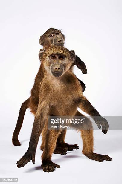 studio shot of baboons - baboon stock pictures, royalty-free photos & images
