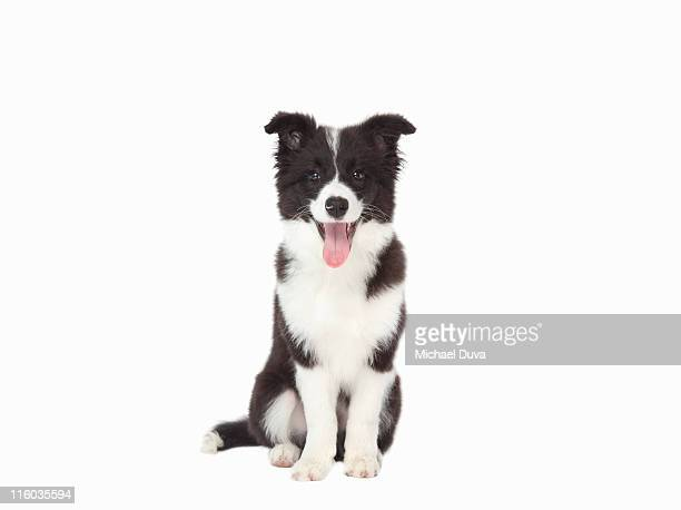 studio shot of Border Collie on white background