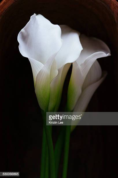 studio shot of calla lily - calla lilies white stock pictures, royalty-free photos & images