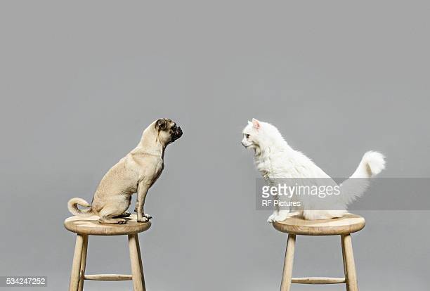 studio shot of cat and dog looking at each other - angesicht zu angesicht stock-fotos und bilder