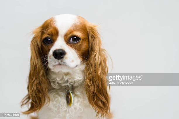 studio shot of cavalier king charles spaniel - cavalier king charles spaniel stock pictures, royalty-free photos & images