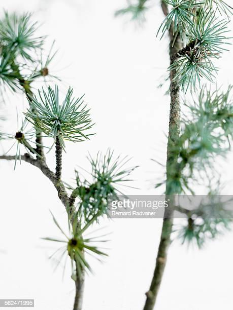 Studio shot of Cedar (Cedrus) twigs