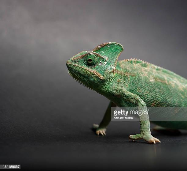 Studio shot of chameleon