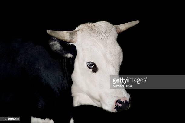 studio shot of cow on a black background - toro animal fotografías e imágenes de stock