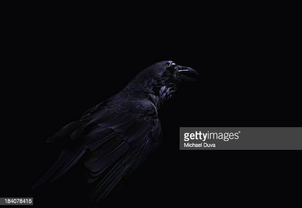 studio shot of crow on black background