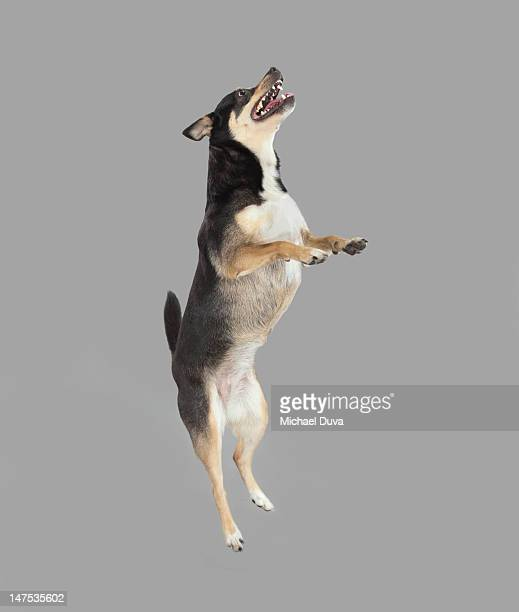 Studio shot of Dog Jumping on Gray Background