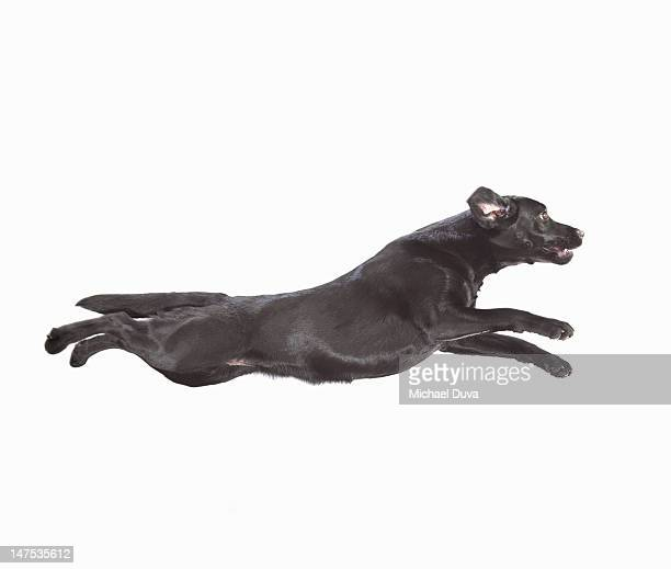 Studio shot of Dog Jumping on  White Background