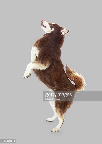 Studio shot of Dog on Gray Background