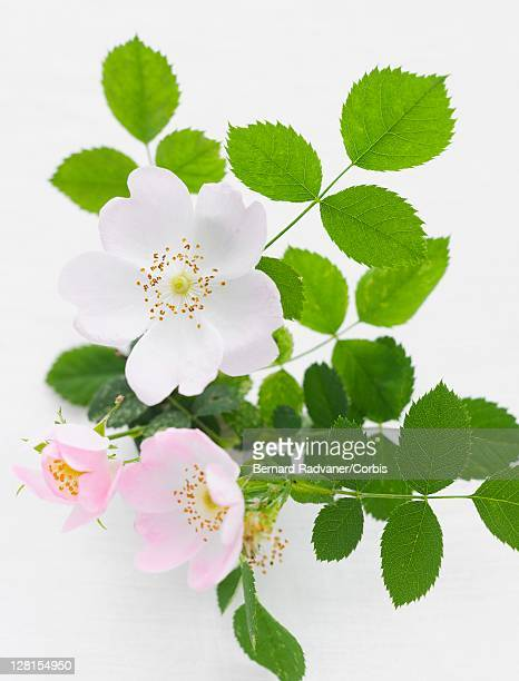 studio shot of dog rose (rosa canina) - dog rose stock photos and pictures