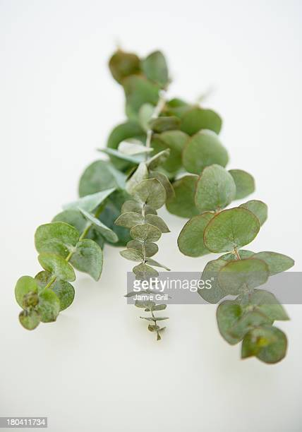 Studio Shot of eucalyptus plant on white background