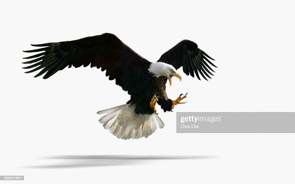 Studio shot of fierce eagle flying : Stock Photo