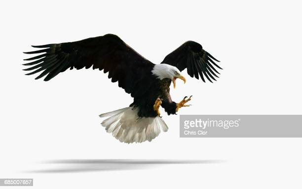 studio shot of fierce eagle flying - hawk bird stock photos and pictures