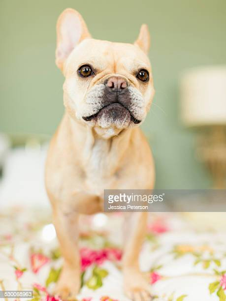 studio shot of french bulldog on bedding - bulldog frances imagens e fotografias de stock