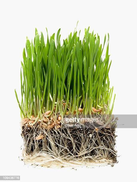 Studio shot of grass on soil