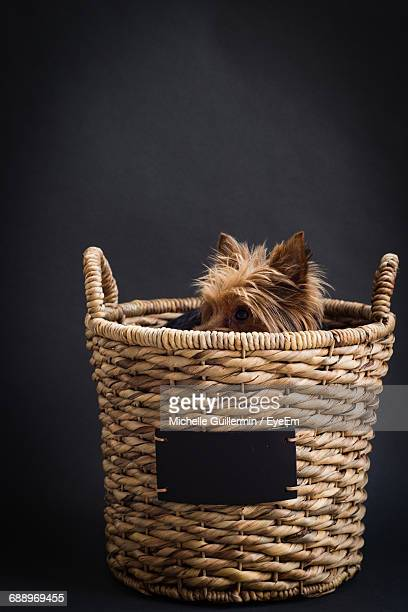 Studio Shot Of Hairy Dog Hiding In Basket