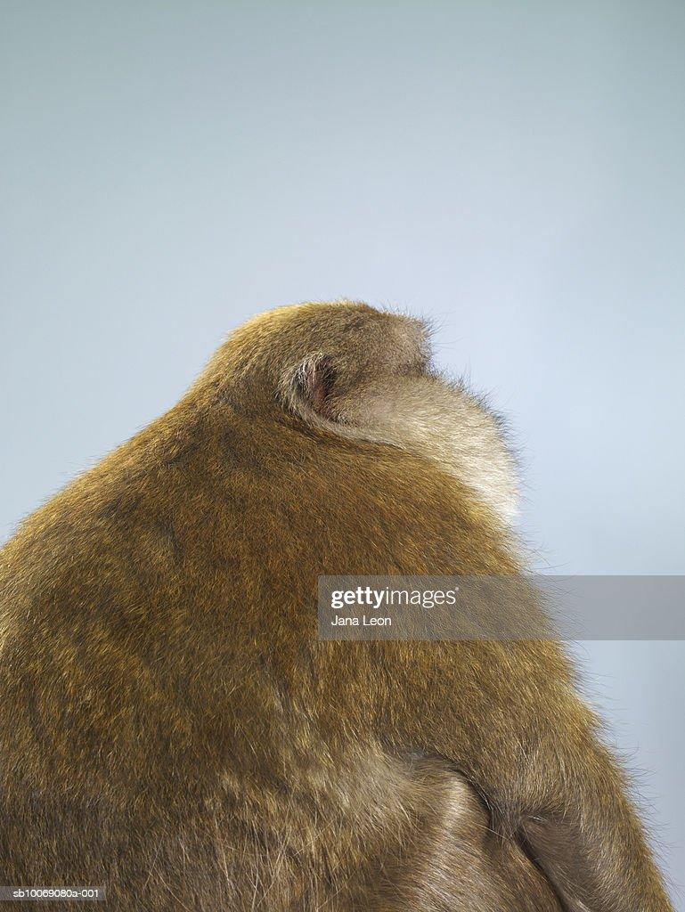 Studio shot of macaque monkey : Stockfoto