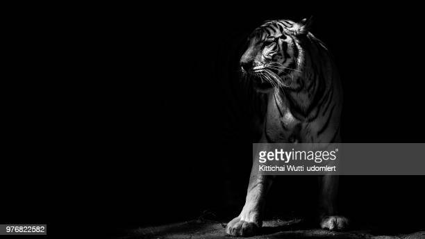 studio shot of majestic white tiger - tiger stock pictures, royalty-free photos & images