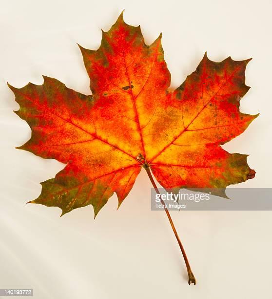 Studio shot of maple leaf