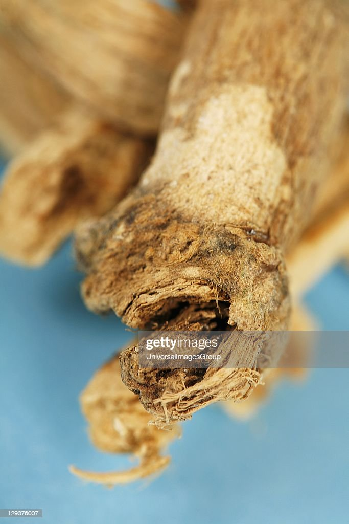 Studio shot of Marsh Mallow (Althea officinalis) root, close-up : News Photo