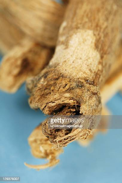 Studio shot of Marsh Mallow root closeup The Marshmallow root in herbalism is used as a gargle to treat sore throat mouth and throat ulcers gastric...
