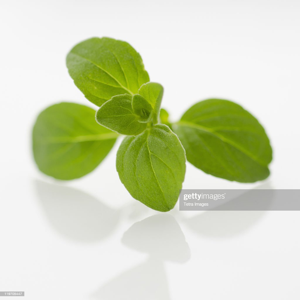 Studio shot of oregano seedling : Stock Photo