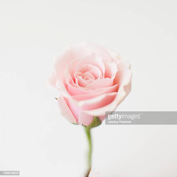 Studio shot of pink rose