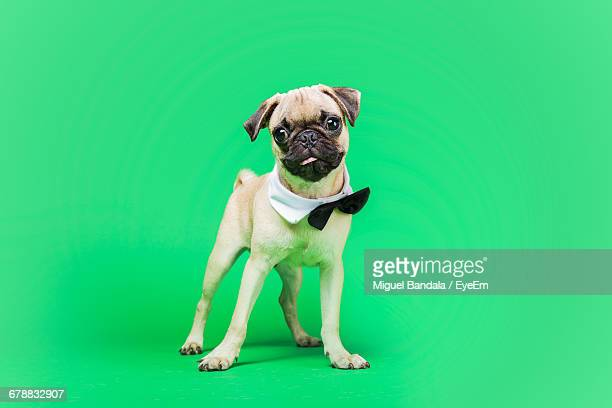 Studio Shot Of Pug Wearing Bow Tie