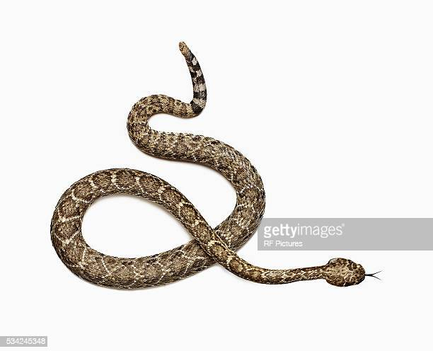 studio shot of rattlesnake - snake stock pictures, royalty-free photos & images