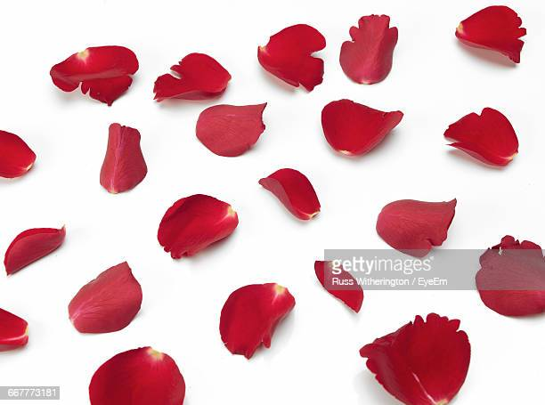 Studio Shot Of Rose Petals