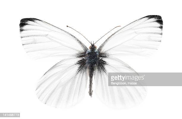 Studio shot of sharp-veined white butterfly