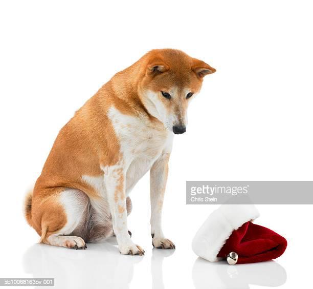 Studio shot of Shiba Inu dog looking at Santa hat